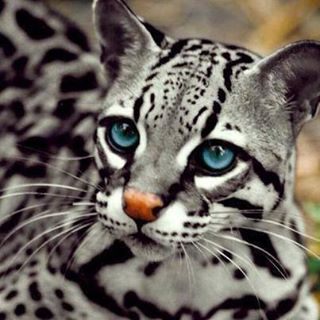 blued eyed cat
