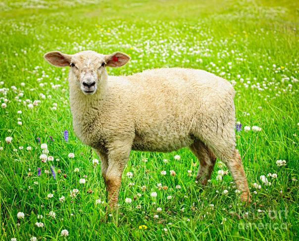 sheep-in-summer-meadow-